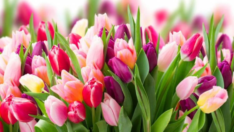 Почему в Севастополе ежегодно покупают многолетние тюльпаны?